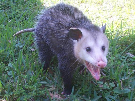 Possum Charlie