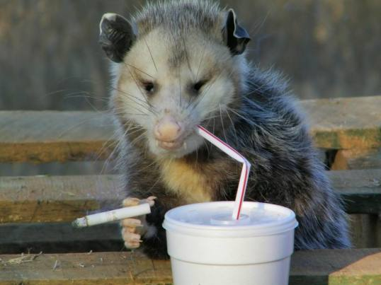 Jaded Possum
