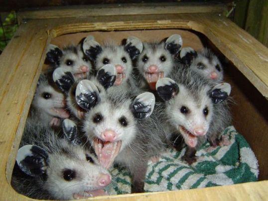 Trailer Possums
