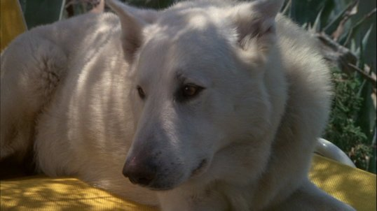 Right now a dog taught to hate is heading towards a tragic end. (White Dog, 1982)